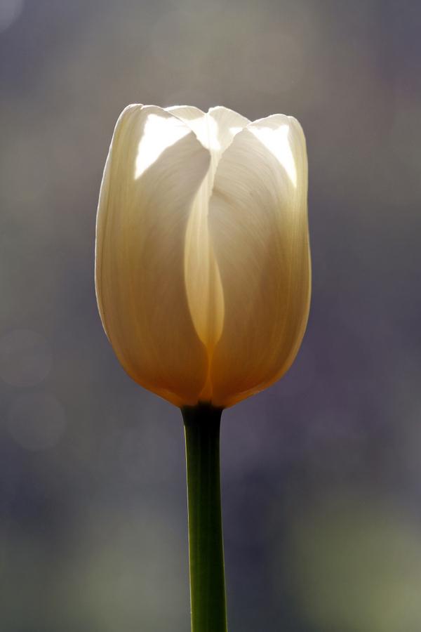 2-tulpe
