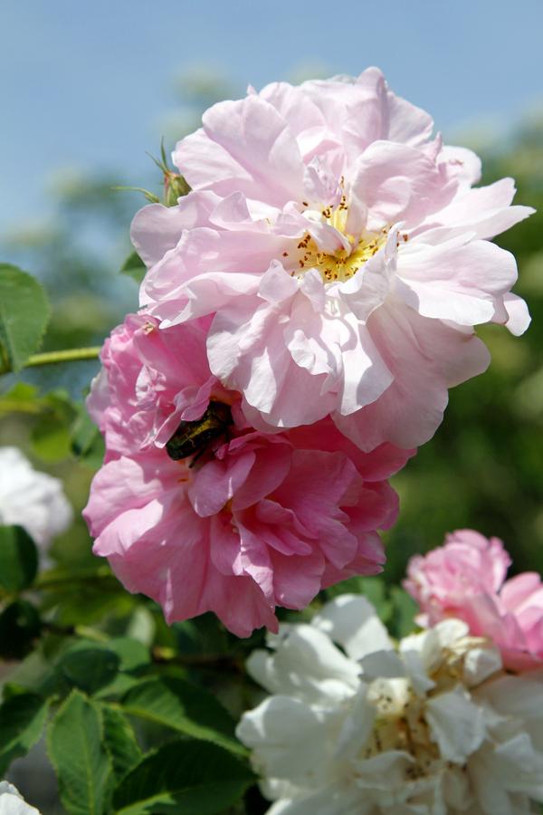 2-rosen