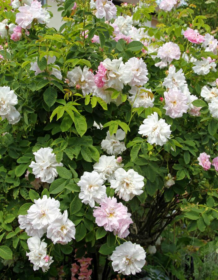 4-rosenbusch