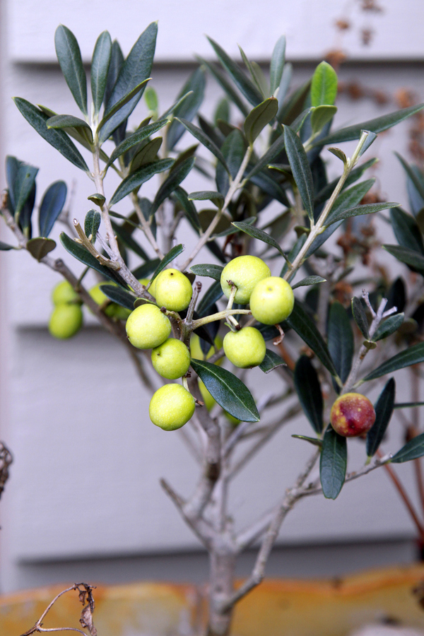4-olive