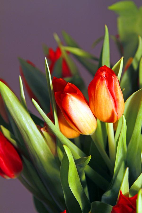 1-tulpe