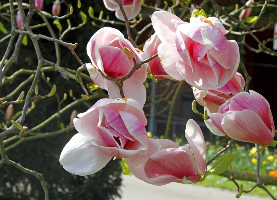 6-magnoli