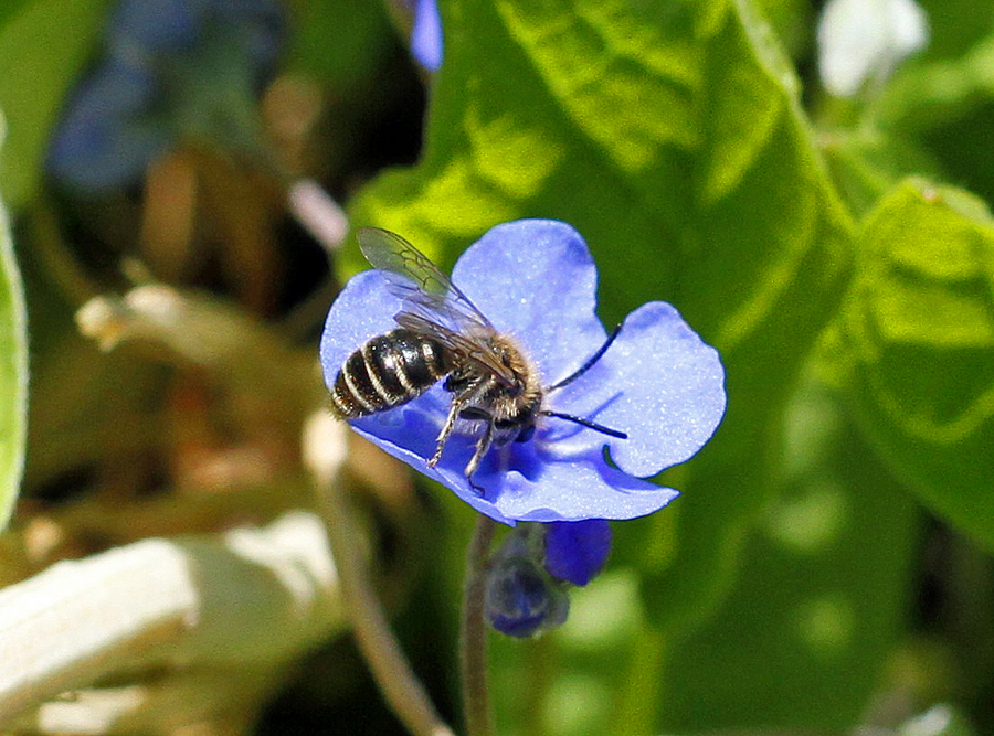 4-wildbiene
