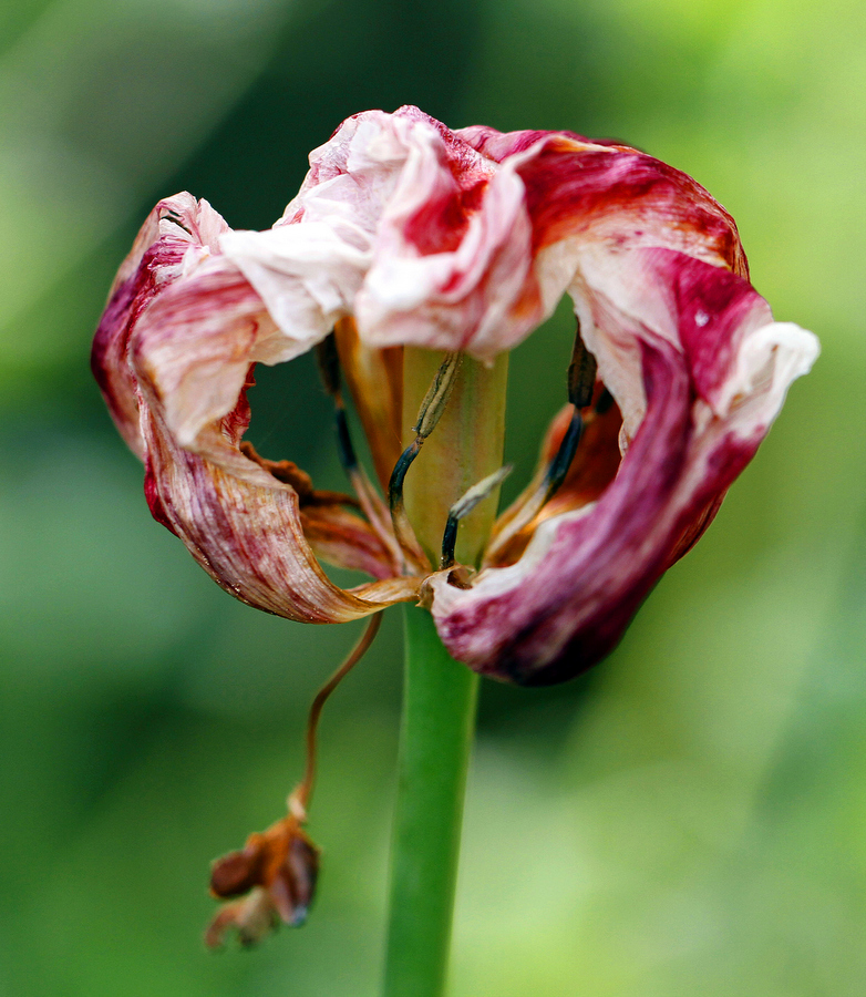 1-tulipa