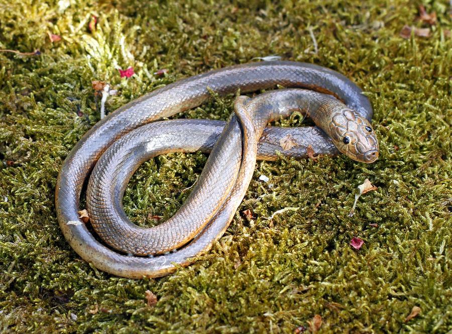 1-schlange