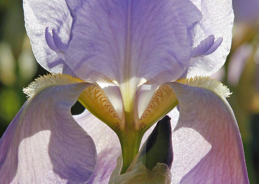 2-lilia