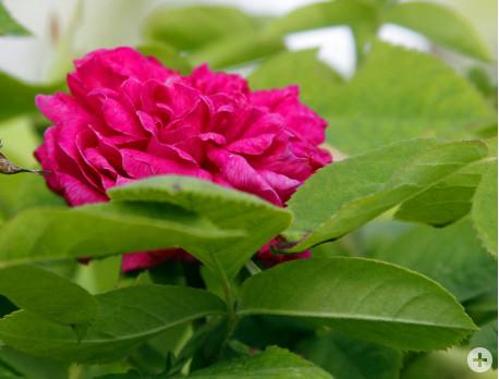 2-rose de resht1