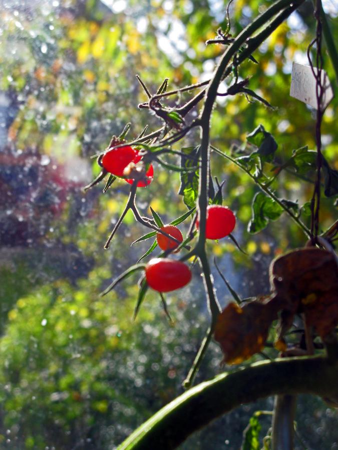 1-tomaten