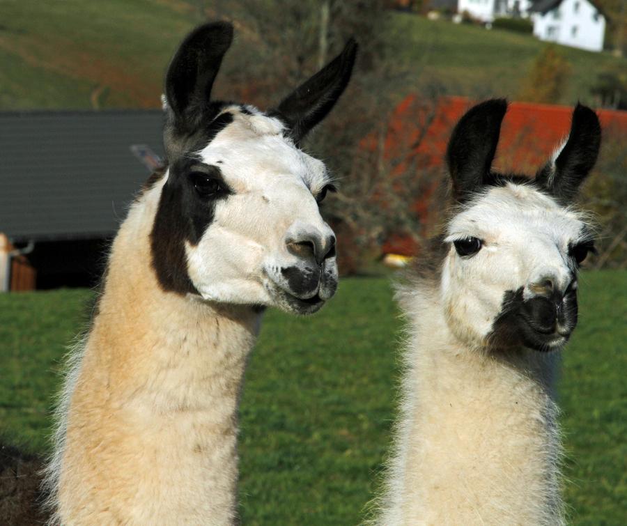 2-lamas