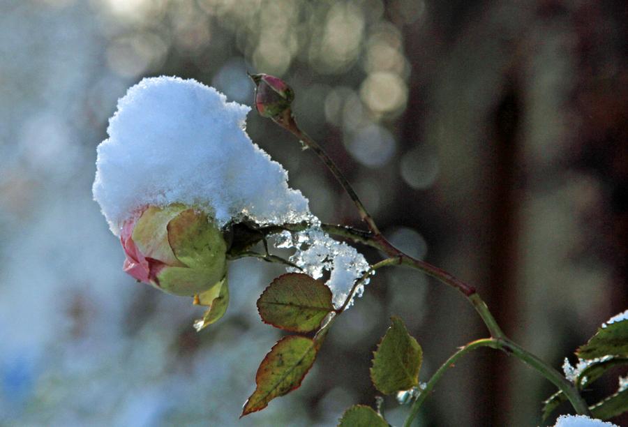 1-rosenblüte