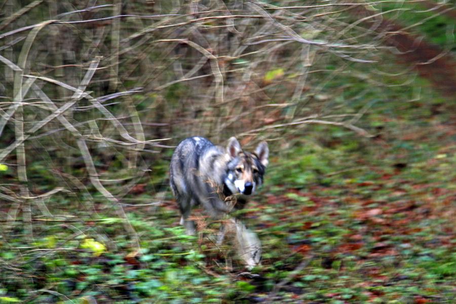 2-wolf1
