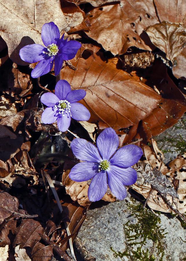 07-anemone hepatica